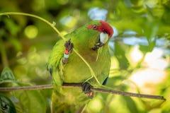 Kakariki Green Parakeet Eating Leaves. The three species of Kakariki or New Zealand parakeets are the most common species of parakeets in the genus Cyanoramphus Stock Image
