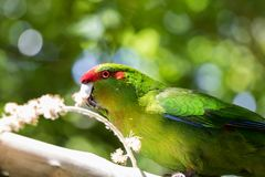 Kakariki Green Parakeet Eating. The three species of Kakariki or New Zealand parakeets are the most common species of parakeets in the genus Cyanoramphus, family Royalty Free Stock Photos