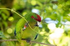 Kakariki Green Parakeet Holding Leaves. The three species of Kakariki or New Zealand parakeets are the most common species of parakeets in the genus Cyanoramphus Stock Image