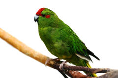 Kakariki parakeet, isolated on white Stock Photos