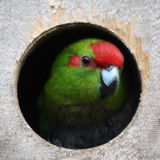Kakariki Parakeet Stock Photo