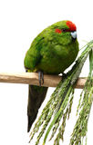 Kakariki parakeet on a white background Stock Images