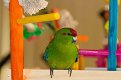 Kakariki parrot stock photography