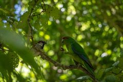 Kakariki With Sparrow Friend. The three species of Kakariki or New Zealand parakeets are the most common species of parakeets in the genus Cyanoramphus, family Stock Photo