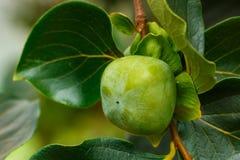 Kaki, arbres de kaki de vert d'A Images libres de droits
