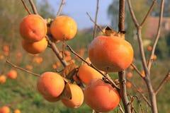 Kaki dans un verger, fruit de kaki Photographie stock
