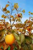 Kaki fruit on it's tree Stock Photos