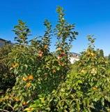 Kaki fruits. Ripening on a tree in October in Mallorca, Spain Stock Photo