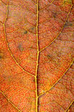 Kaki leaf detail Royalty Free Stock Images