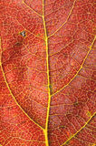 Kaki leaf detail Stock Photos