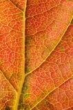 Kaki leaf detail Stock Images