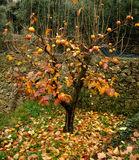 Kaki. One kaki tree in autumn Stock Photo