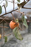 Kaki sur l'arbre Photo stock