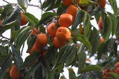 Kaki tree. Full of fruits Stock Image