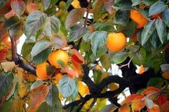 Kaki tree. Detail in autumn Stock Photography