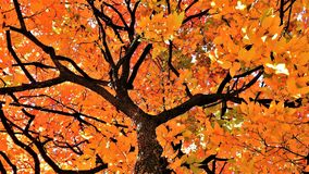A kaki tree full of leaves. A beauty view of a kaki tree from  below in a sunny  day of october Royalty Free Stock Photos