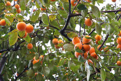 Kaki tree. Japanese persimmon tree ( kaki ) with fruits Royalty Free Stock Image