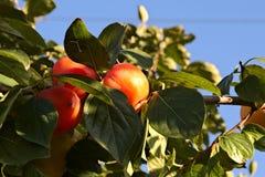 Kaki,tree,leaf. Group of very ripe persimmon on tree Stock Images