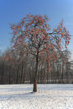 Kaki tree in winter. After snowing Royalty Free Stock Images
