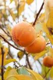 Kakiboom met kakivruchten klaar om worden geoogst stock foto