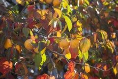 Kakis mûrs sur des branches d'arbre Images stock