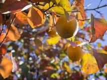 Kakis mûrs sur des branches d'arbre Photos stock
