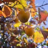 Kakis mûrs sur des branches d'arbre Photo libre de droits