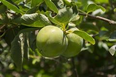 Kakis without ripening. Stock Image