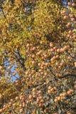 Kakis sur l'arbre en automne Images libres de droits