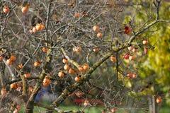 Kakiträd med frukter Arkivfoton