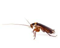 Kakkerlak Stock Afbeeldingen