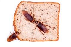 kakkerlak Royalty-vrije Stock Foto