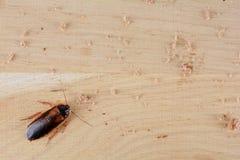 Kakkerlak in de keuken Het probleem is in het huis wegens de kakkerlakken stock fotografie