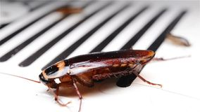 Kakkerlak die op een vanger worstelen