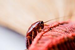 Kakkerlak op bruine bezem royalty-vrije stock foto's