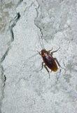Kakkerlak op concrete muur Royalty-vrije Stock Afbeeldingen