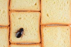 Kakkerlak op voedsel in de keuken Het probleem is in het huis wegens de kakkerlakken Kakkerlak die in de keuken eten royalty-vrije stock afbeelding
