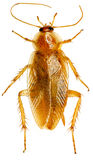Kakkerlak op witte achtergrond Royalty-vrije Stock Fotografie