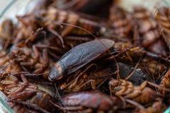 Kakkerlak voor studie die parasieten in laboratorium vinden stock fotografie