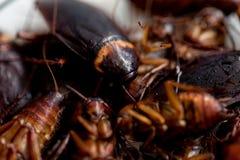 Kakkerlak voor studie die parasieten in laboratorium vinden royalty-vrije stock fotografie