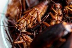 Kakkerlak voor studie die parasieten in laboratorium vinden stock foto's