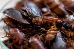 Kakkerlak voor studie die parasieten in laboratorium vinden stock foto