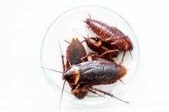 Kakkerlak voor studie die parasieten in laboratorium vinden royalty-vrije stock foto