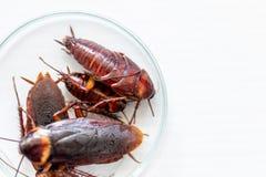 Kakkerlak voor studie die parasieten in laboratorium vinden stock afbeeldingen