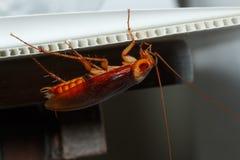 Kakkerlakken bruine gang in het kader van blad stock foto's