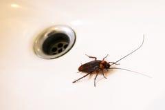 Kakkerlakken in de gootsteen royalty-vrije stock foto's