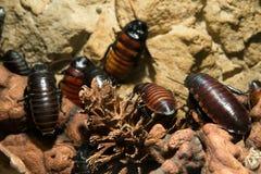 Kakkerlakken dichte omhooggaand stock foto