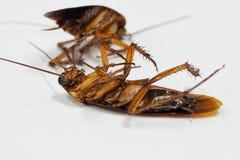 Kakkerlakken die dode ziekten op een witte achtergrond dragen stock foto's
