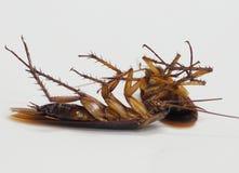 Kakkerlakken die dode ziekten op een witte achtergrond dragen royalty-vrije stock afbeelding