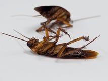 Kakkerlakken die dode ziekten op een witte achtergrond dragen royalty-vrije stock foto